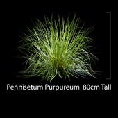 Pennisetum Purpureum