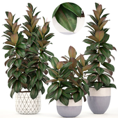 Collection of plants 204. Ficus elastica