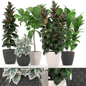 Collection of plants 212. FICUS SET