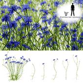 Василёк синий цветок | Centaurea cyanus