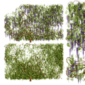 Растение вистерия, глициния
