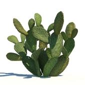 Opuntia ficus-indica / 1