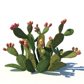 Opuntia ficus-indica / 2 (with fruits)