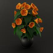 Abutilone orange