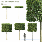 Lime-tree European Pallida # 1