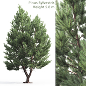 Pine tree common # 1 (5.8m)