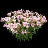 Plant lily set 01