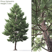 Pine tree common # 3 (7.4m)