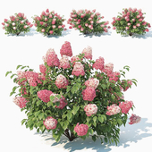 Hydrangea Paniculata # 2 Red Diamond. 4 Sizes