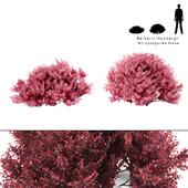 Barberry Thunberg bush | Berberis thunbergii Atropurpurea Nana