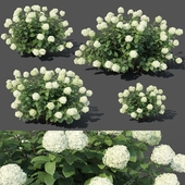 Hydrangea arborescens # 1. 4 sizes