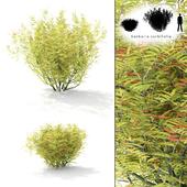Rowberry rowan bush | Sorbaria sorbifolia