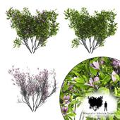 Magnolia Susan bush | Magnolia hibrida Susan