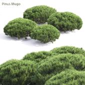 Mountain pine # 4