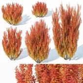 Berberis thunbergii # 5 powwow