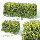 Buxus Sempervirens # 5 hedge 50cm