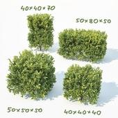 Buxus Sempervirens # 7 Cubes
