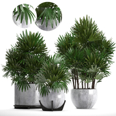 Collection of plants 230. Rhapis excelsa