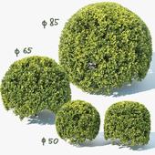 Buxus Sempervirens # 9 spherical