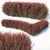 Berberis thunbergii # 6 atropurpurea nana customizable hedge