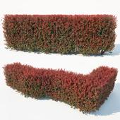 Berberis thunbergii # 7 atropurpurea nana customizable hedge