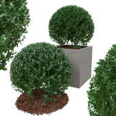 Boxwood bush in the form of a ball