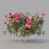 Nerium oleander / 1
