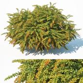 Berberis Thunbergii # 8 Green Carpet L. 2 sizes