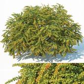 Berberis Thunbergii # 9 Green Carpet XL