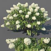 Hydrangea Paniculata # 3 Limelight XL. 3 variations