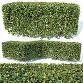 Cotoneaster lucidus # 2 customizable square shape hedge