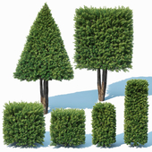 Taxus Baccata # 8 topiary set 3