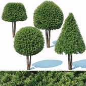 Taxus Baccata # 5 topiary set 2