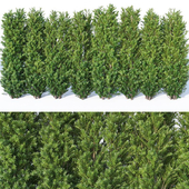 Taxus Baccata # 9. 160cm hedge