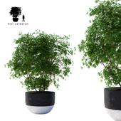 Клён пальмолистный зелёный | Acer palmatum