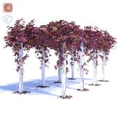 Девичий виноград 3