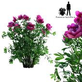 Пион молочноцветковый   Paeonia lactiflora