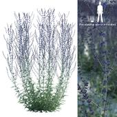 Перовския полынная | Perovskia abrotanoides