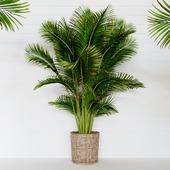 Palm areca_2