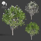 Магнолия Cуланжа | Magnolia x soulangeana