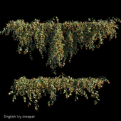 English Ivy creeper