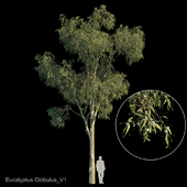 Eucalyptus globulus var1