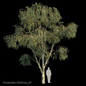 Eucalyptus Globulus Var2