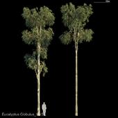 Eucalyptus Globulus Var3
