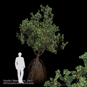 Rhizophora mucronata Var2