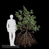 Rhizophora mucronata Var5