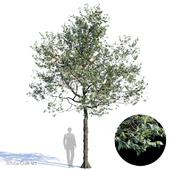 White Oak Var1