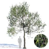 White Oak Var2