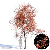 White Oak Var5