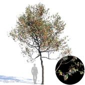 White Oak Var4